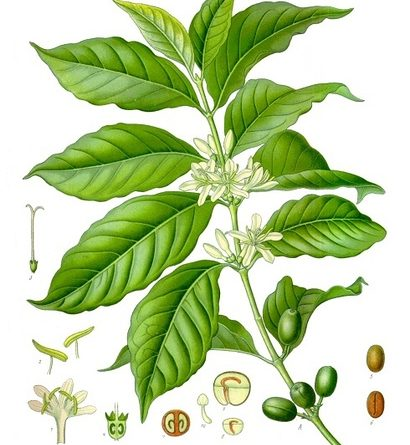 Growing Your Own Coffee Plant Indoors